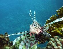 rotes meer feuerfisch