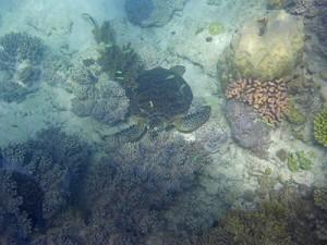 turtle upolu cay reef